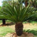 Sago Palm plant can be fatal to pets